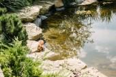 Fotografie adorable squirrel running on stones around pond in park