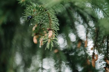 close-up shot of beautiful green spruce branches with growing cones