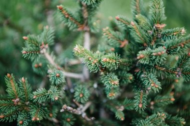 close-up shot of beautiful green spruce branches