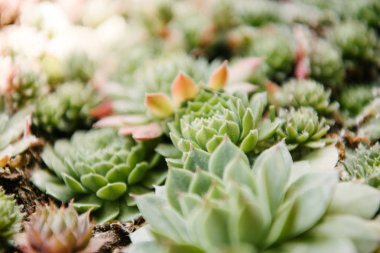 close-up shot of blossoming sempervivum plants