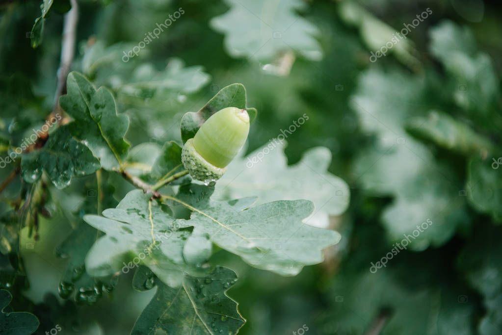 Close-up shot of acorn growing on oak tree stock vector