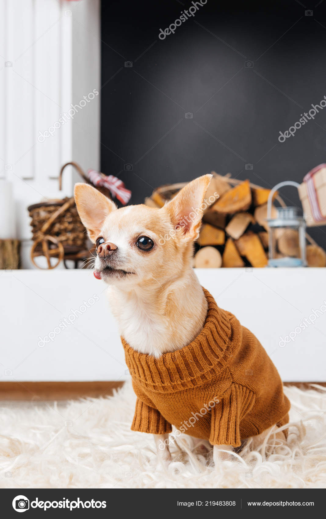 Close View Chihuahua Dog Sweater Fireplace Stock Photo Micenin