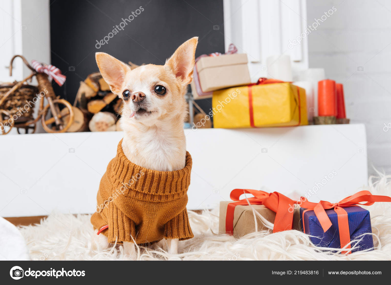 Adorable Chihuahua Dog Sweater Sitting Floor Christmas Presents