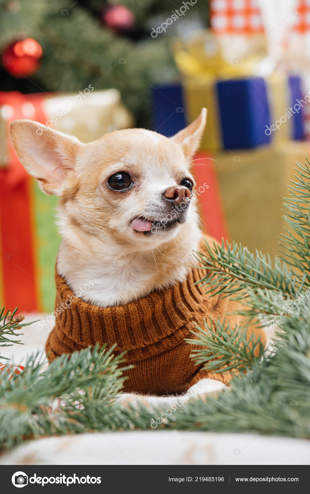 Little Chihuahua Dog Brown Sweater Sticking Tongue Out Christmas ...
