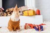 Fényképek imádnivaló chihuahua kutya-ban pulóver ül a földön a karácsonyi bemutatja közelében