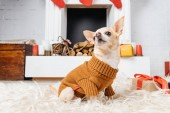 imádnivaló chihuahua kutya-ban pulóver ül a földön a karácsonyi bemutatja közelében
