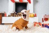 adorable chihuahua dog in sweater yawning while sitting on floor with christmas presents near by