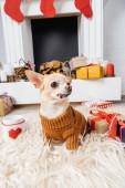 zblízka pohled roztomilý čivava pes ve svetru s vánoční dárky a šálek horkého nápoje nedaleko od