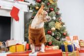zblízka pohled pejska čivavu v svetru na vánoční dárek doma