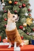 zár-megjelöl kilátás a kis chihuahua kutya-ban pulóver-a karácsonyi ajándék otthon