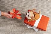 részleges kilátás nyílik ember tartja a chrismtas ajándék kis chihuahua kutya becsomagolt jelen