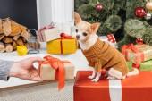 Fényképek részleges kilátás nyílik ember tartja csomagolva ajándék chihuahua kutya karácsonyfa háttér
