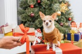 Photo partial view of man holding wrapped gift for chihuahua dog with christmas tree on background