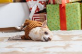 Fotografie little chihuahua dog in brown sweater with christmas gifts behind at home