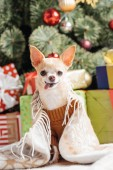 Fényképek barna pulóvert, ragasztás nyelvét a karácsonyi ajándékokat mögött otthon kis chihuahua kutya