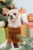 Čivava pejsek v hnědý svetr s vánoční dárky za doma