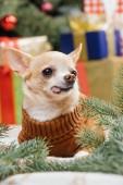 barna pulóvert, ragasztás nyelvét a karácsonyi ajándékokat mögött otthon kis chihuahua kutya
