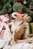 Fényképek zár megjelöl kilátás imádnivaló kis chihuahua kutya a takaró karácsonyi ajándékokat a háttérben