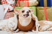 Fotografie close up view of adorable little chihuahua dog in blanket with christmas presents on background