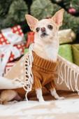 zár megjelöl kilátás imádnivaló kis chihuahua kutya a takaró karácsonyi ajándékokat a háttérben