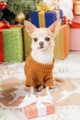 zár-megjelöl kilátás a chihuahua aranyos kutya-ban pulóver becsomagolt karácsonyi ajándékokat mögött otthon