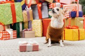 Fotografie close up view of adorable chihuahua dog in sweater sitting near christmas presents on floor