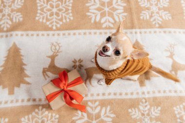 overhead view of cute chihuahua dog and wrapped christmas present