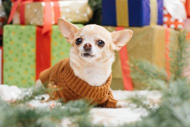 little chihuahua dog in brown sweater with christmas gifts behind at home