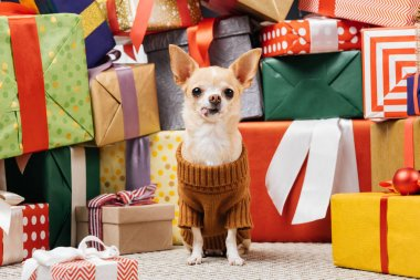 close up view of adorable chihuahua dog in sweater sitting near christmas presents on floor