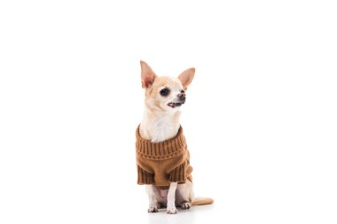 Cute chihuahua dog in brown sweater isolated on white stock vector