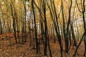 Yellow autumn leaves on tree branches in forest