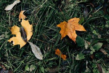 Close up of fallen golden leaves on green grass
