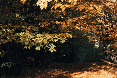 Selective focus of autumn leaves on tree twigs in peaceful forest