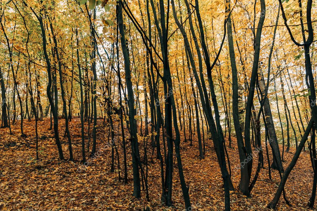 Фотообои Yellow autumn leaves on tree branches in forest