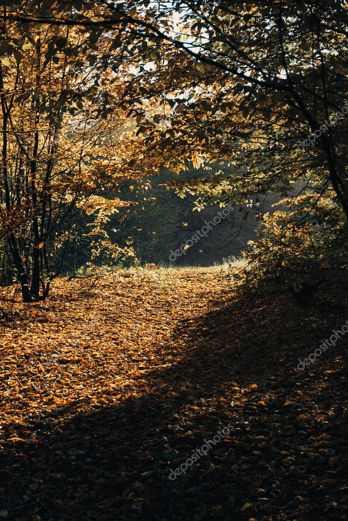 Sunlight on fallen yellow leaves in autumn forest