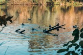 Selective focus of wild ducks swimming in lake