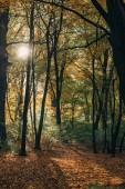 Sunshine v žluté podzimní les spadaného listí