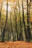 Spadané listí v blízkosti vysoké stromy v podzimním lese
