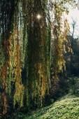 Slunce skrze větve Smuteční vrba strom v lese
