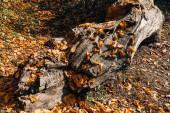 Fotografie Poklesla podzimní listí poblíž obrovské dřevěné srubové