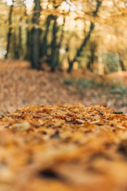 Selective focus of fallen golden leaves in forest stock vector