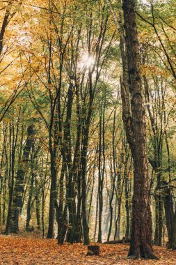Sunshine through branches of tall trees in autumn forest