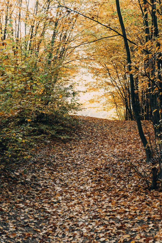 Fallen golden leaves on pathway in autumn forest