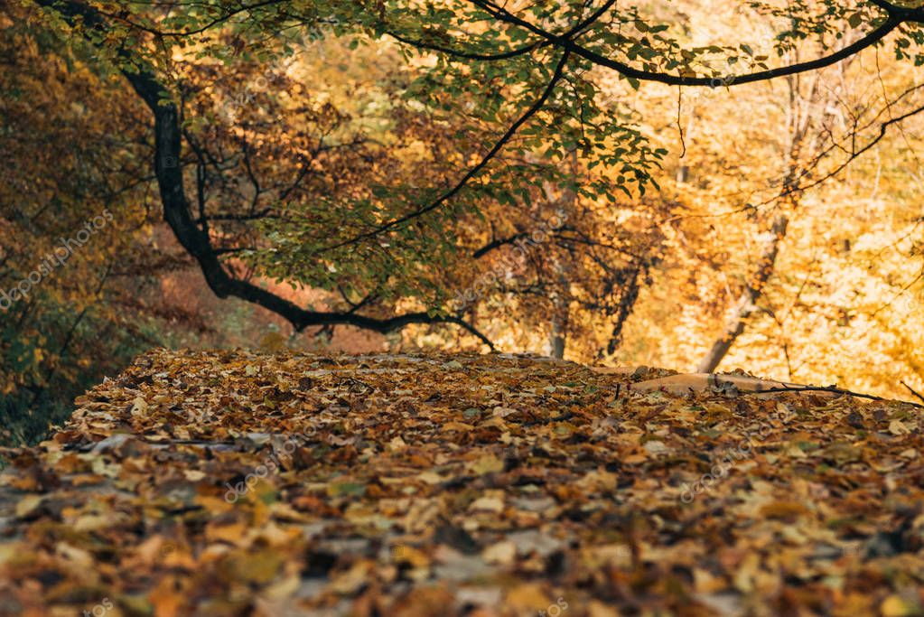 Selective focus of golden leaves in autumn forest