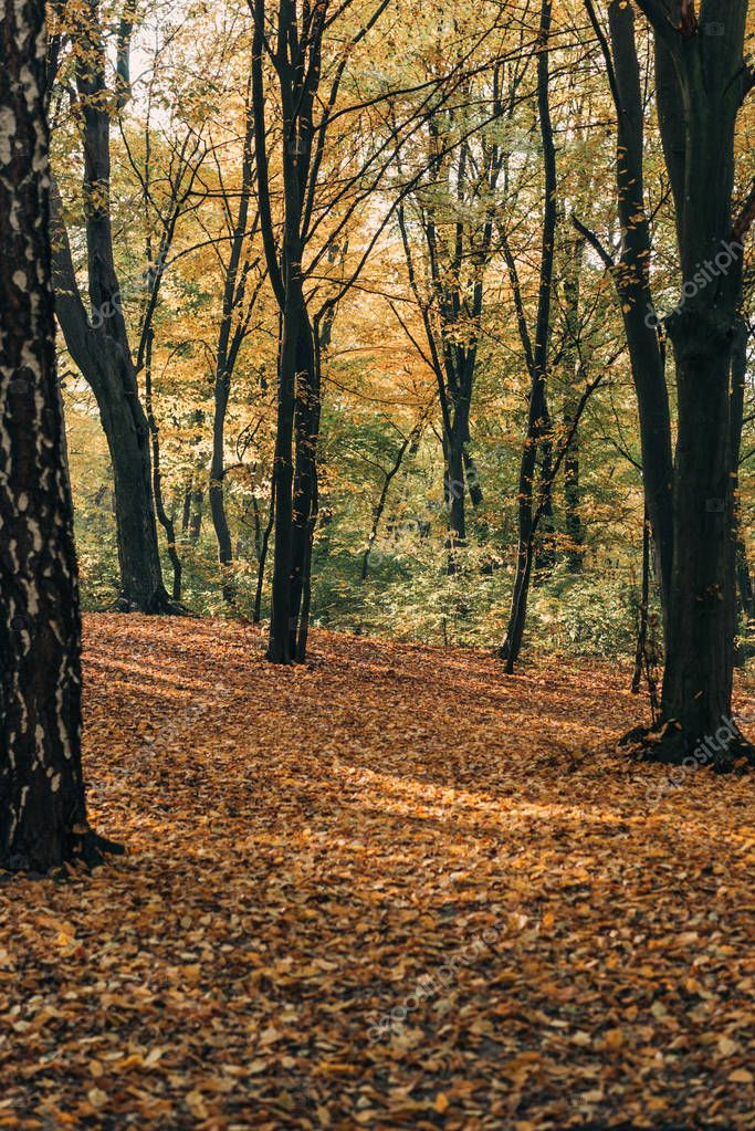Yellow fallen leaves near trees in autumn forest