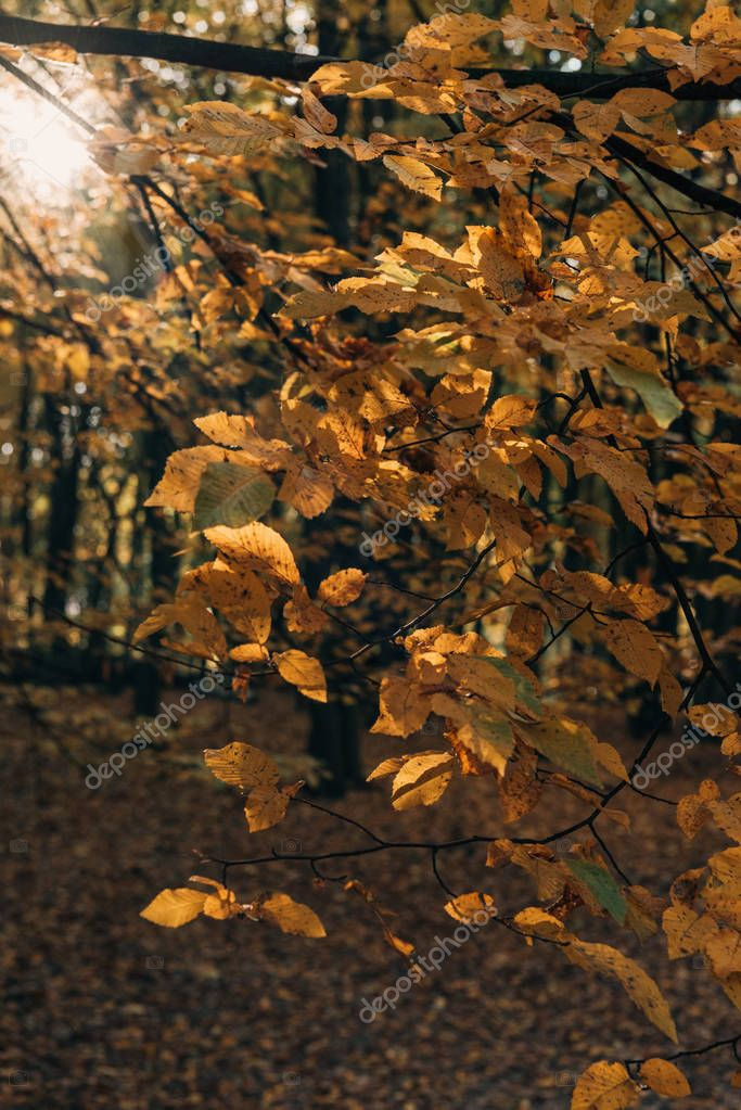 Selective focus of yellow leaves on tree branches