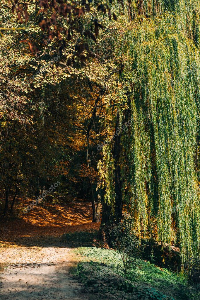 Pathway with sunlight near weeping willow tree in forest