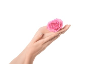 cropped view of woman holding pink rose flower in hands isolated on white
