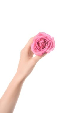 cropped view of woman holding pink rose flower in hand isolated on white