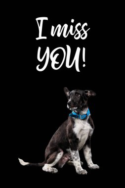 dark mongrel dog in blue collar and lettering i miss you isolated on black